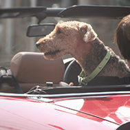 Car_insurance_dog_small